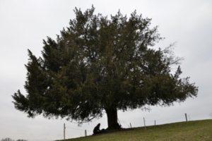 4_tausendjährige eibe